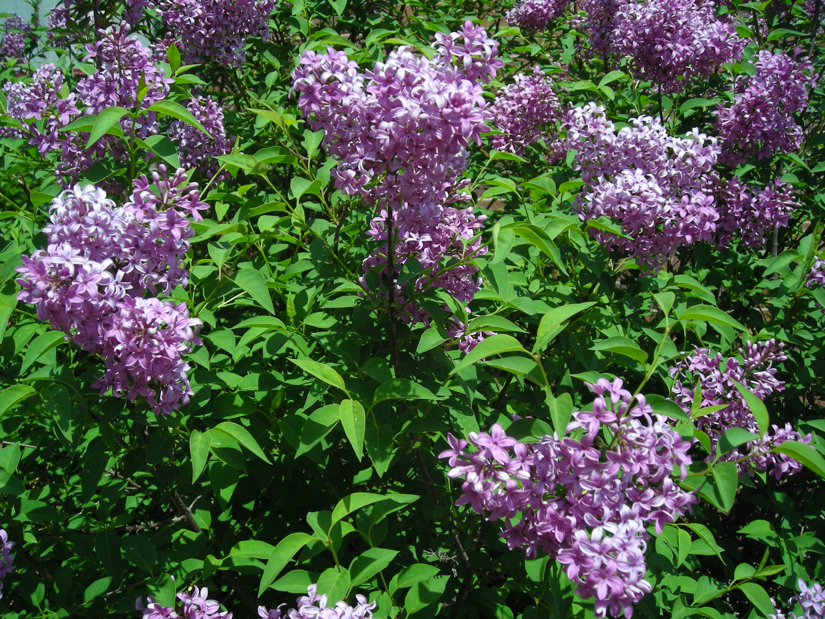 Flowering Bushes Notes From Shellycentral