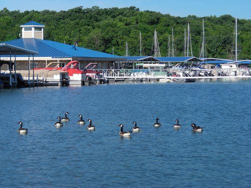 geese at the lake