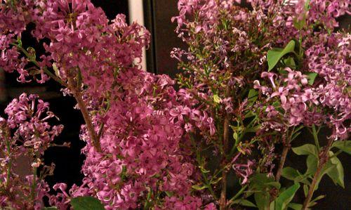 mmm, lilacs...